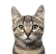 kucing.kampung